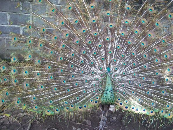 Burung Merak Jantan yang Cantik Jelita :)